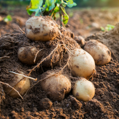 Cara potatoes grown in Norfolk