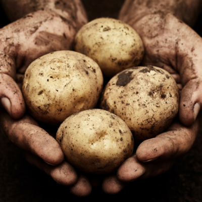 Estima potatoes grown in Norfolk