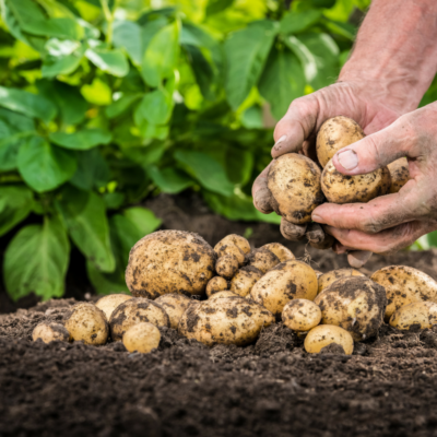Marfona potatoes grown in Norfolk
